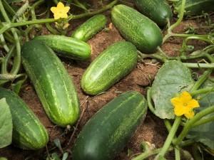 С какво са полезни краставиците за нас?