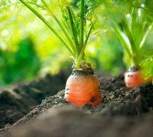 С какво са полезни морковите за нас?